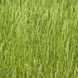 Texture of green grass closeup. — Stock Photo