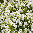 White small flowers — Stock Photo #3717943