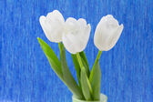 White tulips on a blue background — Stock Photo