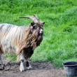 Stock Photo: Chained Goat