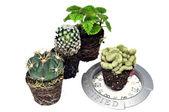 Cacti and balance — Stock Photo