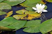 Water lily resting in a pond — Stock Photo