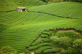 Ba Gua Tea garden in mid of Taiwan — Stock Photo