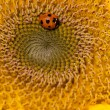 Sunflower and ladybirds — ストック写真