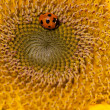 Sunflower and ladybirds — Foto de Stock