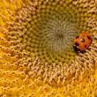 Sunflower and ladybirds - Stock Photo