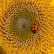 Sunflower and ladybirds — Stock Photo #3245373