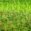 Farm crops - Water Bamboo and Duckweed in uper water mix become nice green - Stock Photo
