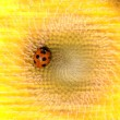 Sunflower and ladybirds — Stock Photo #3245973