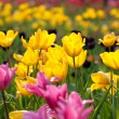 Tulip with nice background color — Stock Photo #3248962