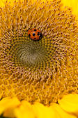 Sunflower and ladybirds — Stock Photo