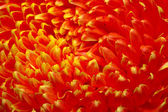 Close up red Chrysanthemum — Stock Photo