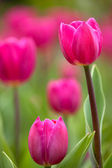 Pink Tulip with nice background color — Stock Photo