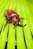 Rhinoceros beetle (Allomyrina dithotomus) — Stock Photo