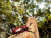 Rhinoceros beetle (Allomyrina dithotomus) — Стоковое фото