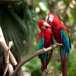 Colorful scarlet macaw perched on a branch — Stock Photo #3557668