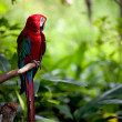 Colorful scarlet macaw perched on a branch — Stock Photo #3557752