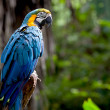 Colorful scarlet macaw perched on a branch — Stock Photo #3577891