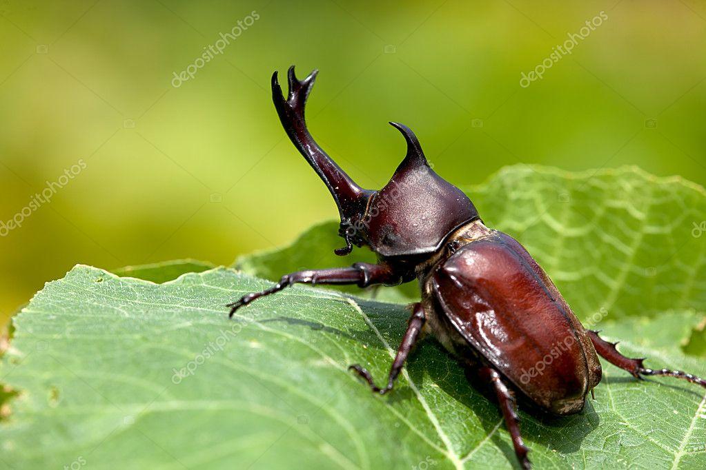 Japanese rhinoceros beetle