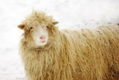 White sheep on the snow with pine needles in fur — Stock Photo