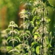 Stinging nettle backlit by sunset vertical — Stock Photo