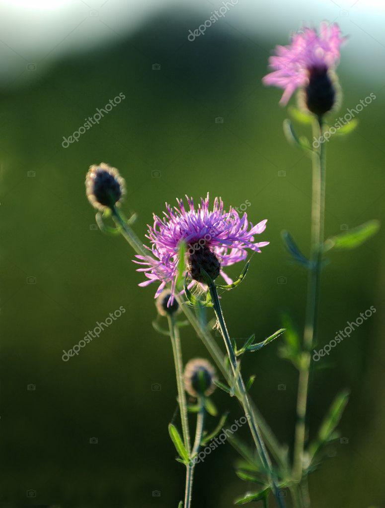 Расторопши цветы
