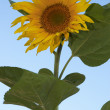 Royalty-Free Stock Photo: The sunflower on the sky background