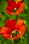Tulips in close up — Stock Photo