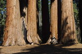 Sequoias — Stock Photo