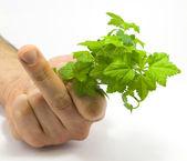 Mano umana, tenendo le foglie di lampone — Foto Stock
