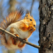 Red squirrel on a branch. — 图库照片