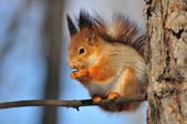 Red squirrel on a branch. — Stock Photo
