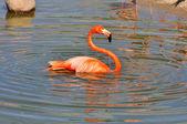 Tendo um flamingo rosa do resto. — Fotografia Stock