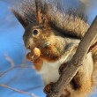 Red squirrel eats a nut. - Stok fotoğraf