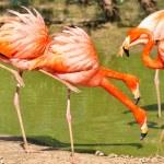 Pink flamingos at lake. — Stock Photo #3405686