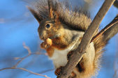 Red squirrel eats a nut. — Stock Photo