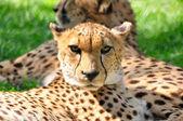 Giovane ghepardo in uno zoo. — Foto Stock