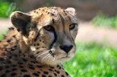 Joven guepardo en un zoológico. — Foto de Stock