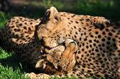 Two playing cheetahs. — Stock Photo