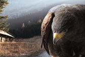 Bald eagle flying over mountains — Stock Photo