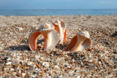 Splitting seashell — Stock Photo