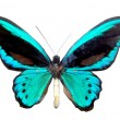 Blue brilliant butterfly — Stock Photo