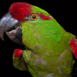 Stock Photo: Varicoloured parrot