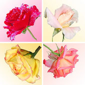Collage from four roses — Stock Photo