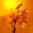 Lilies on background sky is toned — Stock Photo