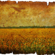 Field of the flowering sunflower — Stock Photo