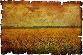 Field of the flowering sunflower — Stock Photo