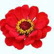 red blume — Stockfoto
