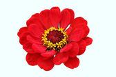 Fleur rouge — Photo