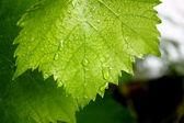 Feuilles de vigne — Photo